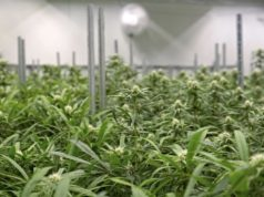 The Hydroponics Company THC secures medicinal cannabis licence