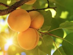 Roots Sustainable Agricultural Technologies ASX ROO zone Adam water solutions apricot tree
