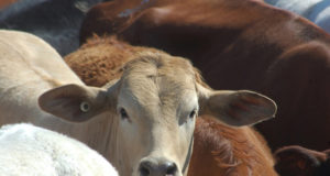 Wellard ASX WLD profit cattle exports Turkey Indonesia