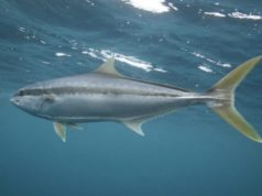 Clean Seas Seafood ASX CSS sales revenue Yellowtail Kingfish