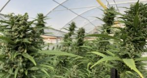 THC Global ASX early 2020 medicinal cannabis product launch Australian patients