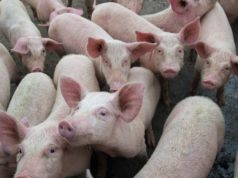 African Swine Fever Zoono ASX ZNO Z71 Microbe Shield virus