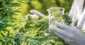 MGC Pharmaceuticals ASX MXC RMIT botanical cancer cannabis cultivation research
